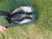 Channel Catfish Stocking 9.2.14